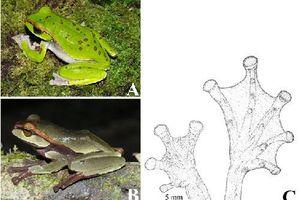 Phát hiện 3 loài ếch cây mới ở Việt Nam