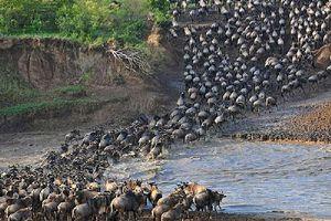 Cận cảnh cuộc vượt sông 'sinh tử' của bầy linh dương