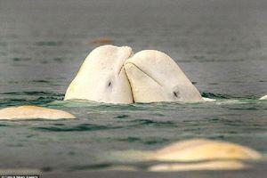 Cận cảnh sự tình tứ của cá voi trắng trước khi giao phối