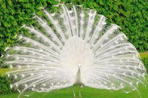 Mê mẩn trước vẻ đẹp của khổng tước trắng