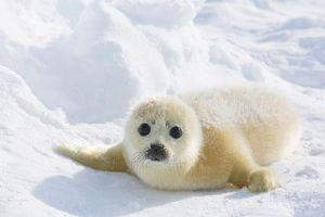 Vẻ đáng yêu của hải cẩu trắng như tuyết