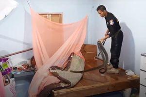 Vây bắt rắn hổ mang chúa dài 2m dưới gầm giường nhà dân ở Thái Lan