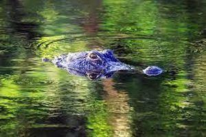 Người đàn ông Mỹ tay không chiến đấu với cá sấu để cứu chó cưng