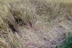 Nghệ An: Một phụ nữ bị sét đánh tử vong khi đi gặt lúa về