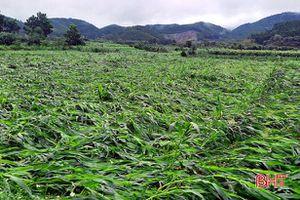 Hương Sơn hỗ trợ gần 1,5 tỷ đồng tiền ngô giống cho vùng bị thiên tai
