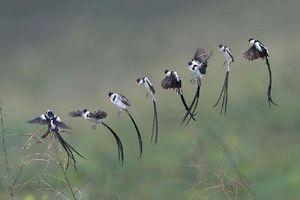 Mải mê ngắm loài chim nhỏ đẹp nhất thế giới