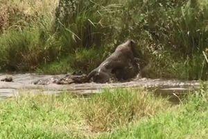 CLIP: Báo đốm suýt mất mạng vì săn hụt cá sấu