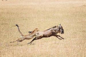 Cận cảnh màn săn linh dương đầu bò của báo đốm