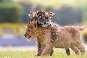Chùm ảnh đẹp về tình bạn của sư tử và hổ con