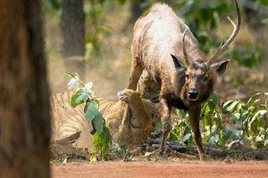 Chùm ảnh chú hươu mạnh mẽ thoát khỏi móng vuốt của hổ dữ