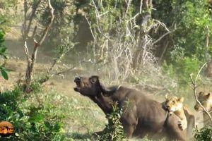Cận cảnh trâu rừng bị đàn sư tử xé xác