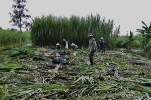 Hậu Giang: Nông dân trồng mía bán lẻ thu lợi nhuận cao hơn bán cho nhà máy đường