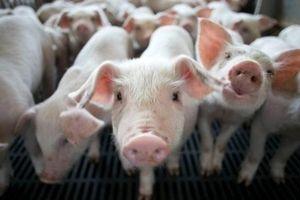 Một doanh nghiệp chăn nuôi sắp trả cổ tức tỷ lệ 40% bằng tiền