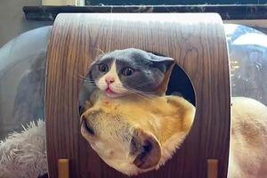 Clip: Mèo bất lực khi bị chó chiếm chỗ ở