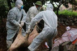 Quảng Ninh xuất hiện dịch tả lợn Châu Phi