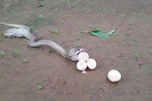 'Dựng tóc gáy' trước cảnh rắn hổ mang chúa nôn ra trứng