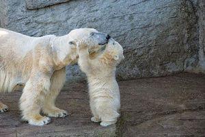 Chiêm ngưỡng tình mẫu tử cực kỳ đáng yêu của loài gấu