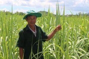 Nhiều chính sách hỗ trợ nông dân duy trì trồng mía