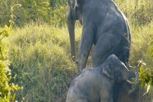 Cặp voi ủn mông nhau trèo lên khỏi mương bùn