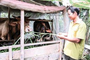 Giá bò thịt và bò giống tăng cao