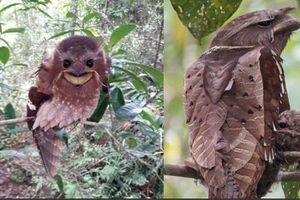 Loài chim kỳ dị ở Đông Nam Á: Sở hữu 'khuôn mặt' kỳ dị, nếu bắt gặp trong đêm có thể khiến bạn khóc thét
