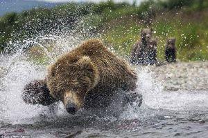 Cận cảnh gấu nâu mẹ 'ngụp lặn' dưới nước kiếm cá nuôi con nhỏ