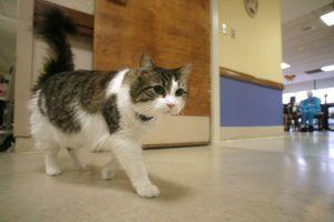 Kỳ lạ chú mèo có khả năng 'báo tử', nằm cạnh ai là người đó qua đời sau 2 tiếng