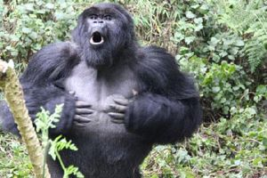 Lí do gì khiến khỉ đột vỗ ngực?