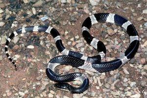 Những loài rắn nọc siêu độc sống phổ biến ở Việt Nam