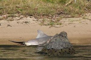 Cá sấu khổng lồ đụng cá mập lớn: Kết sốc