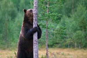 Gấu nâu cọ xát vào cây sẽ hấp dẫn và nhiều bạn tình hơn
