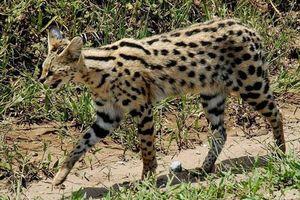 Loài mèo nào chạy nhanh chỉ sau báo cheetah?