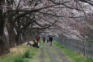 Chiêm ngưỡng con đường hoa anh đào dài nhất thế giới tại Nhật Bản