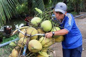 Dừa tươi dễ tiêu thụ, giá tăng