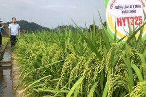 Ký ức về quá trình phát triển lúa lai ở Việt Nam