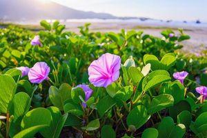 Mùa hoa muống biển...