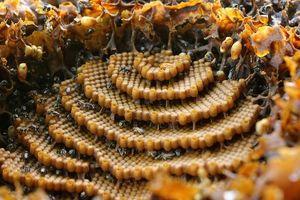 Sự thật thú vị về loài ong không phải ai cũng biết