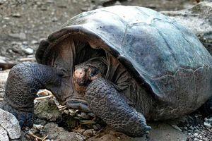 Phát hiện loài rùa tuyệt chủng một thế kỷ trước