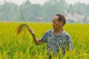 Giáo sư Viên Long Bình với thành công của lúa lai Việt Nam