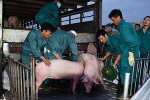 Phát hiện lợn nhiễm dịch tả châu Phi: Việt Nam ngừng nhập hàng từ Thái Lan
