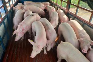 Tạm dừng gấp nhập lợn sống Thái Lan vì dịch tả lợn châu Phi