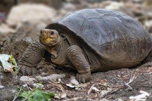 Loài rùa khổng lồ được cho là đã tuyệt chủng 100 năm trước hiện đang sống ở quần đảo Galápagos, Ecuador