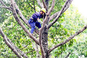 Bảo đảm an toàn cây xanh trong mùa mưa