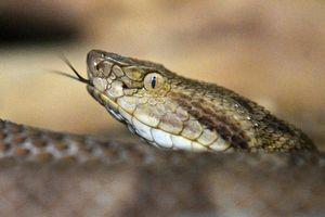 Đăng video ăn rắn độc chống Covid-19, một người Ấn Độ bị phạt tiền
