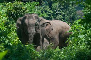 Voi rừng giẫm chết người ở Thái Lan