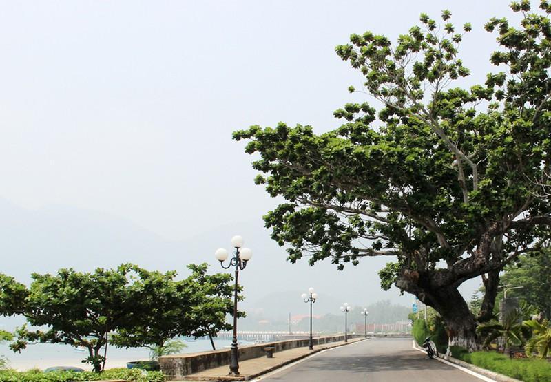 Huyện đảo nào có nhiều cây bàng di sản nhất cả nước?