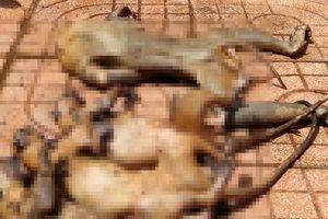 Voọc và nhiều động vật khác bị 3 thợ săn giết hại dã man
