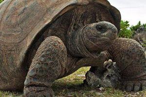 Bí quyết gì giúp rùa sống lâu, vì sao rùa thở được bằng mông?