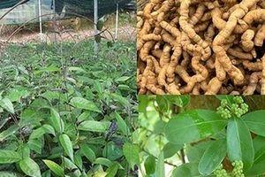 Hiệu quả kinh tế từ việc nghiên cứu chế tạo thực phẩm chức năng nano ba kích