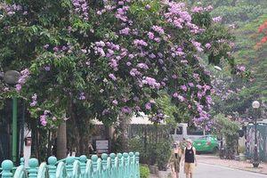 Sắc tím hoa bằng lăng rực rỡ khắp trời Hà Nội